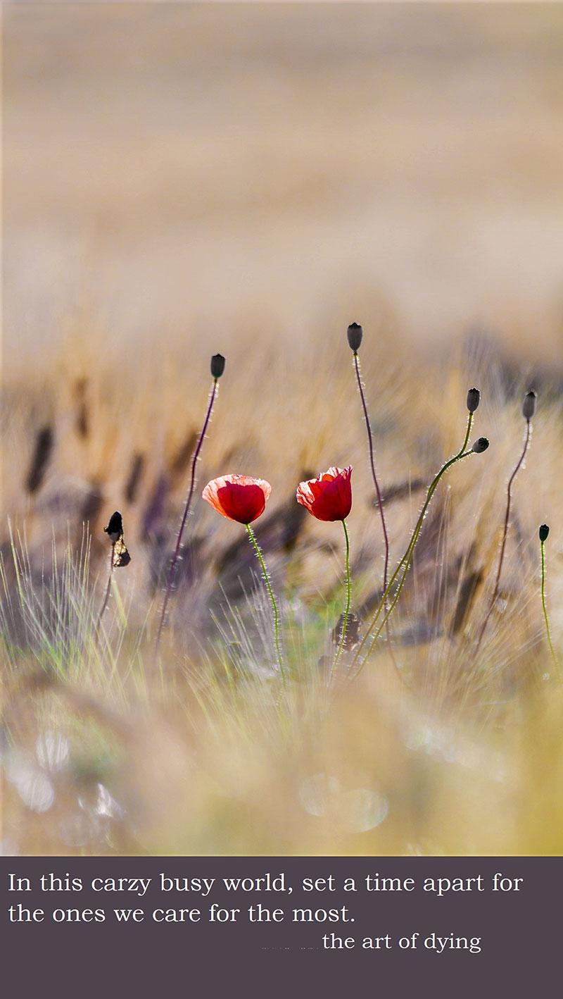 poppy-2444103_1920