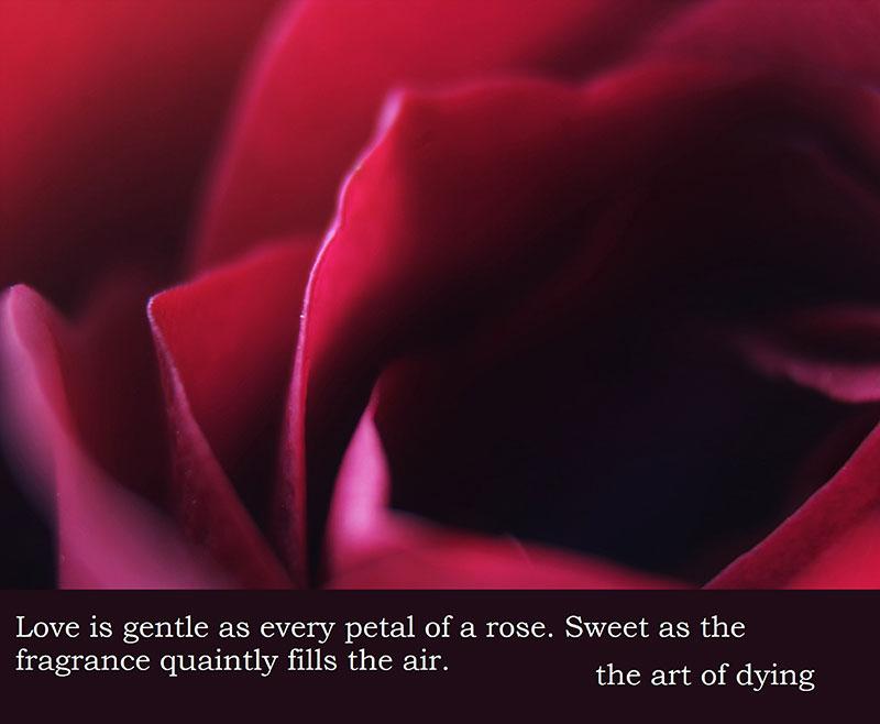 rose-2473092_1920