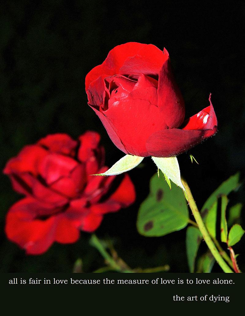 rose-419079_1920